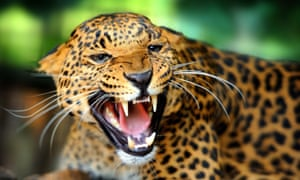 Jaguar numbers have dwindled in recent years, especially in South America.