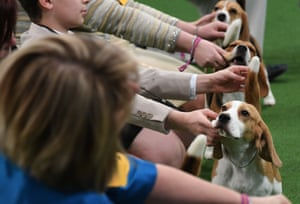 Handlers and their Beagles are seen in the judging ring during the Daytime Session in the Breed Judging across the Hound, Toy, Non-Sporting and Herding groups at the 143rd Annual Westminster Kennel Club Dog Show