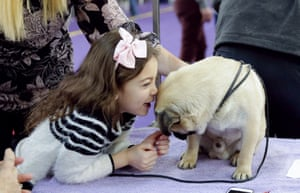 A Pug gets attention before competing at the 143rd Annual Westminster Kennel Club Dog Show