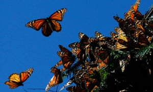 Monarch butterflies fly at the El Rosario butterfly sanctuary in Michoacan, Mexico.