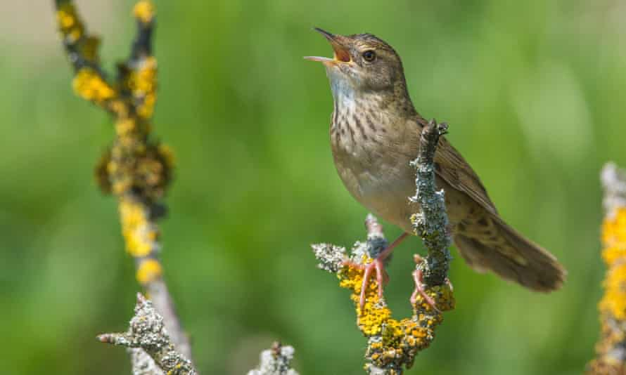 A grasshopper warbler singing (Locustella naevia).