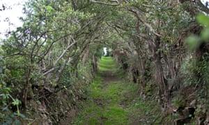 Mini dark hedges on the path leading to Ballynoe Stone Circle.