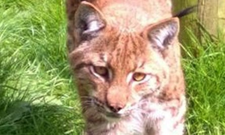 A two-year-old male lynx in its enclosure at Dartmoor zoo in Devon