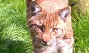 Lynx at Dartmoor Zoological Park