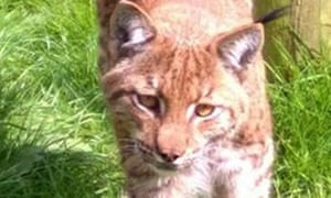 A two-year-old male lynx in its enclosure at Dartmoor zoo in Devon. The lynx is now believed to be on farm land outside the park.
