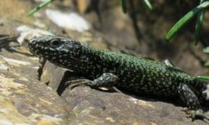 A male wall lizard