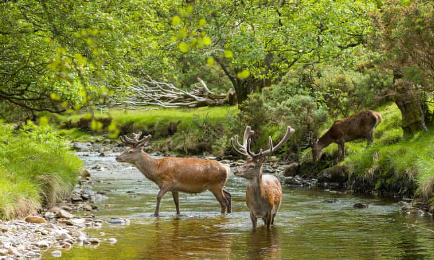 Red deer in the river at Lochranza, Isle of Arran.