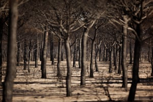 Burnt trees after a forest fire in the Donana national park near Matalascanas, Spain
