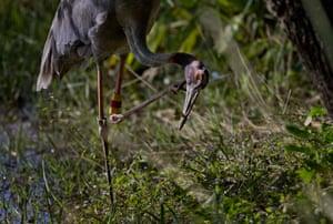 A sarus crane – the tallest flying birds in the world – is reintroduced into the wild near Buriram bird center in Thailand
