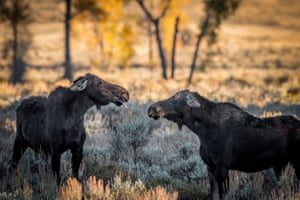 A moose sticks its tongue out