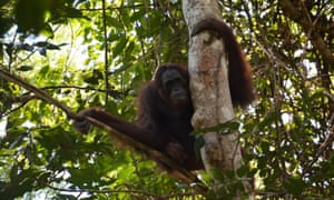 Nenuah, a 19-year-old orangutan, sits in a tree after being released at Bukit Batikap Protection Forest in Murung Raya regency, Central Kalimantan province, Indonesia, last week.