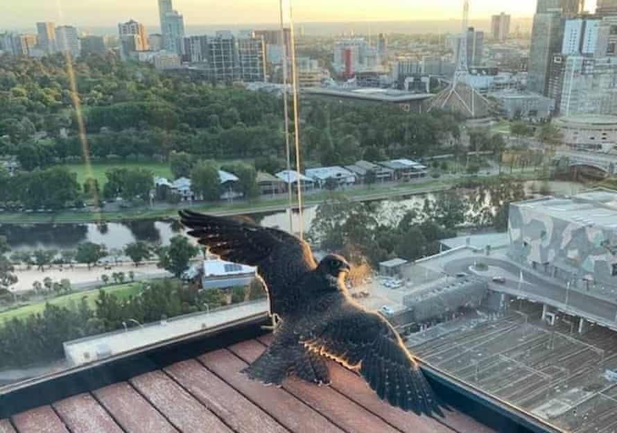 Peregrine falcon trapped on balcony