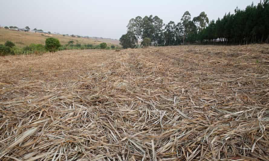 Harvested sugarcane on a plantation in Uganda.