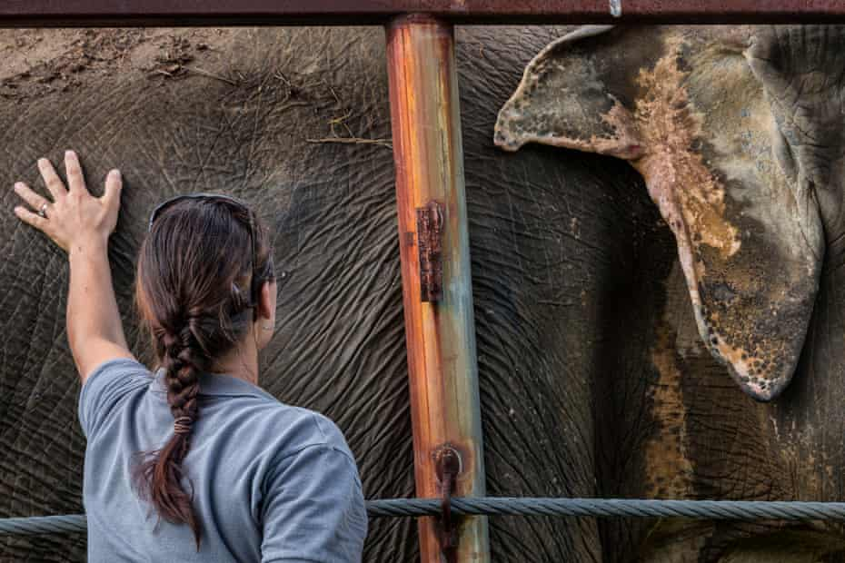 A woman touches the side of an elephant with a wounded ear at the Elephant Sanctuary.