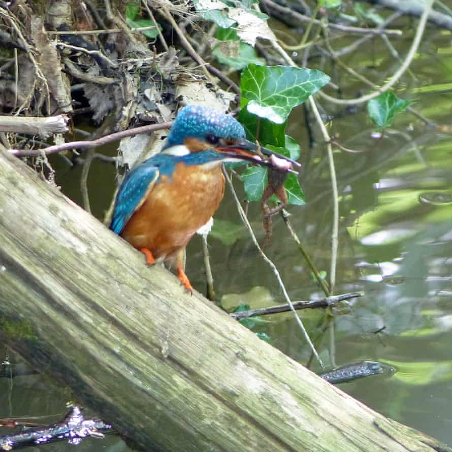 Kingfisher at Swanbourne Lake, Arundel, West Sussex