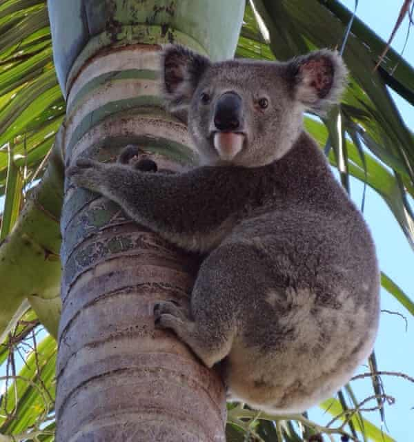 The koala sitting in a palm tree that sparked  Angela Christodoulou's new passion