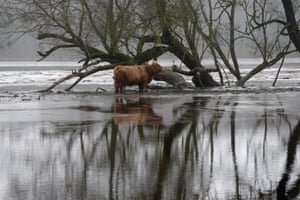 A Highland cow stands near a flooded tree in Soomaa national park, Estonia