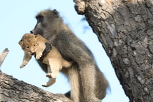 A male baboon carries a lion cub in a tree in the Kruger national park, South Africa