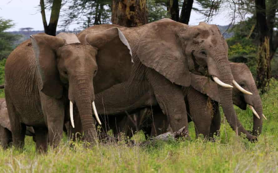 Elefantes de la sabana africana