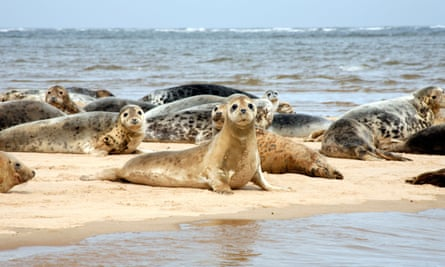 Common and Grey Seals on Sand Bar off Blakeney Point, Norfolk