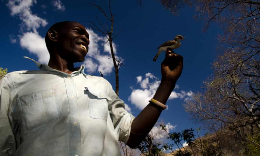 Yao honey-hunter Orlando Yassene holds a wild greater honeyguide female (temporarily captured for research) in the Niassa National Reserve, Mozambique.