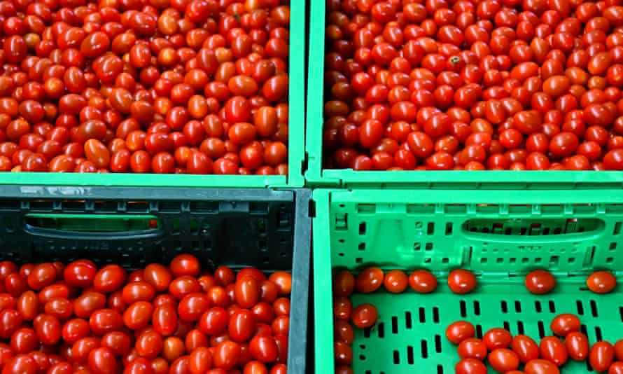 Tomatoes are being on the Sfera Agricola hydroponic farm in Gavorrano, Italy.