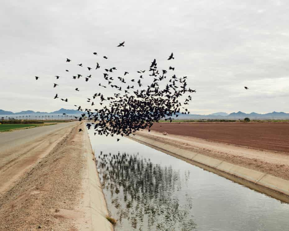 Red-winged blackbirds over an irrigation ditch in Blythe, California.