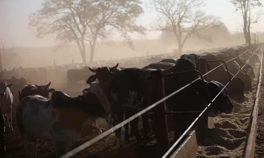 Cattle graze on feed ration on a ranch in Barretos.
