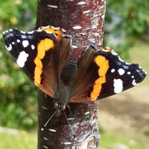 Astrid captured this red admiral butterfly on her phone.