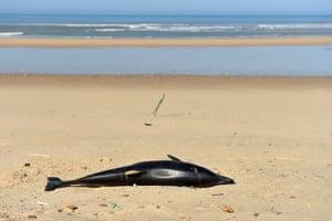 A dead dolphin lies on a beach near Lacanaub in south-west France
