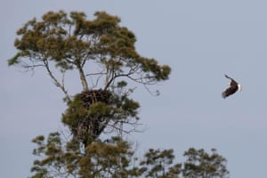 A bald eagle circles a nest south of Lake Okeechobee near Palm Beach County, Florida, US. There are 22 active eagle nests in the area.