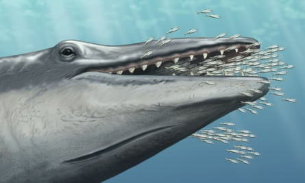 Reconstruction of fossil whale, an Aetiocetid nicknamed 'Alfred', suction feeding.