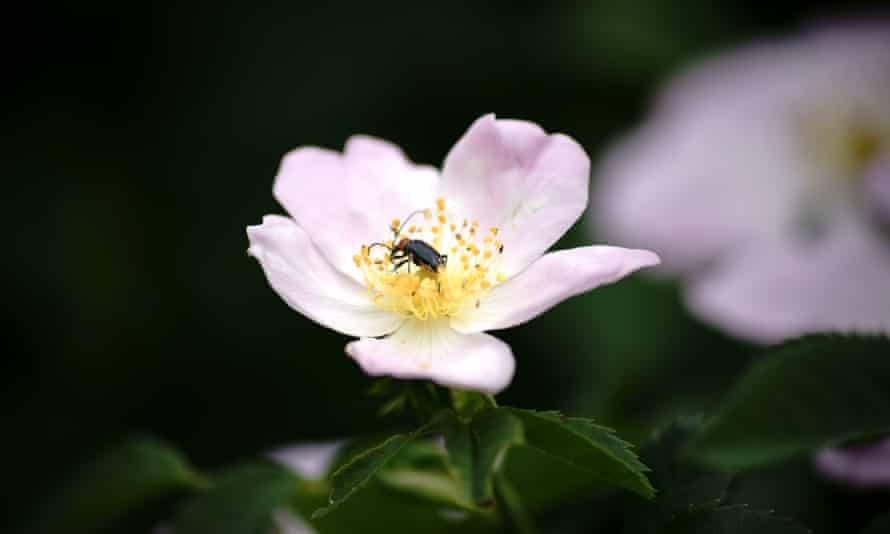 A soldier beetle in a dog rose flower.