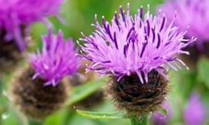 The 'shaving-brush' flowers of common knapweed in summer.