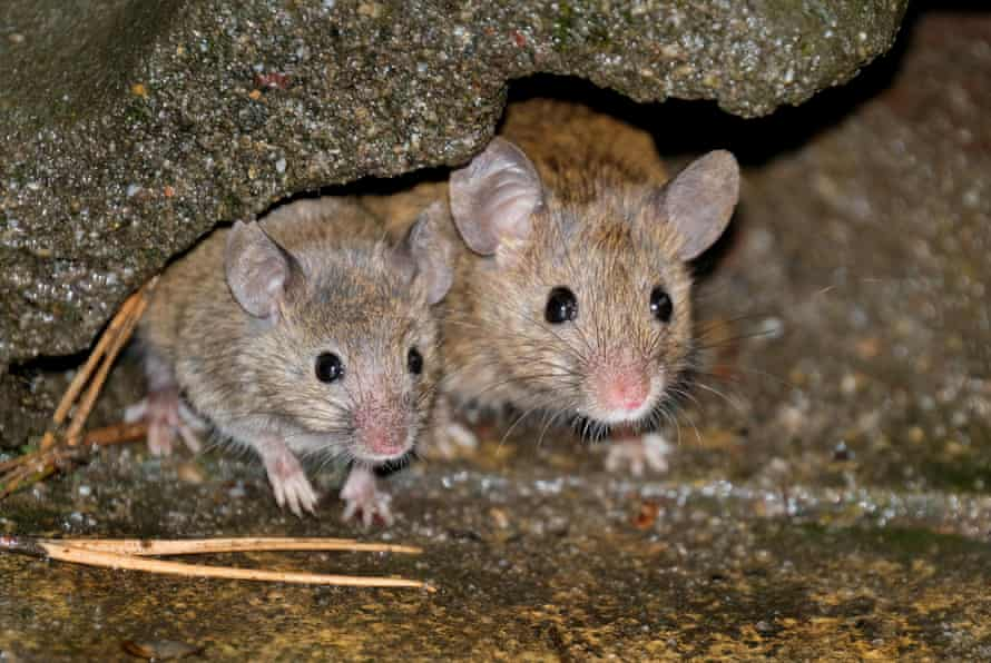 Mice feeding in urban house garden.