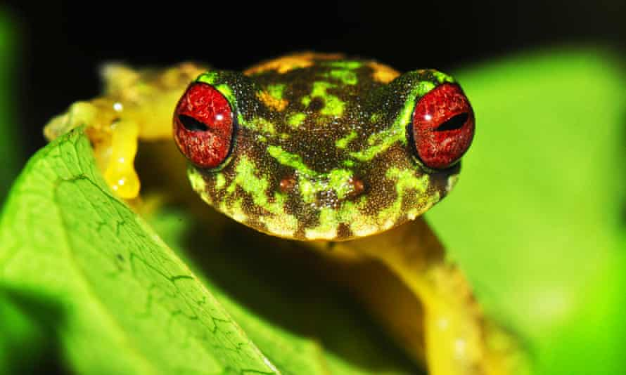 This mossy red-eyed frog is one of hundreds of species negatively impacted by chytrid fungus and now threatened with extinction.