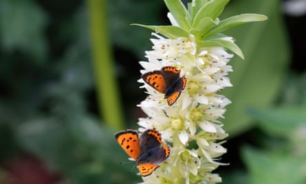 Star performer: copper butterflies feeding on a pineapple lily flower.