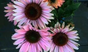 A close-up of three pink daisies