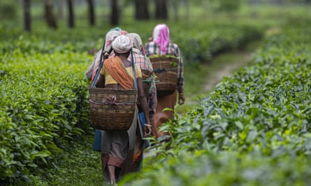 Assam supplies leaves to the world's largest tea companies.