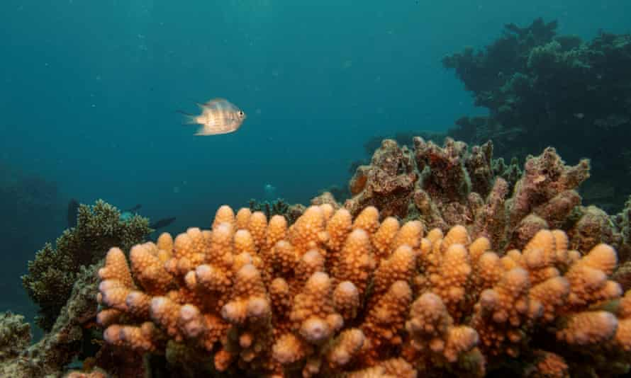 A sergeant major reef fish swims above a staghorn coral colony on the Great Barrier Reef
