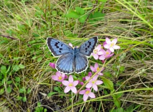 The large blue butterfly was once pronounced extinct in the UK, but was seen in record numbers this year, according to conservationists
