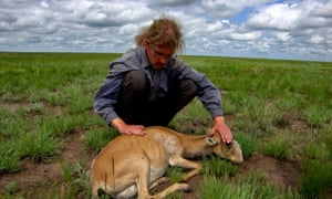Dr Steffen Zuther examines a dying female saiga.