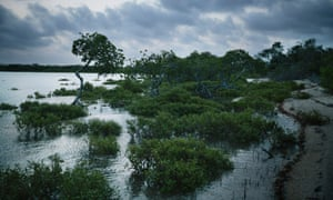 Mangroves at high tide on the western side of Curtis Island, the same side as a liquified natural gas plant in Australia.