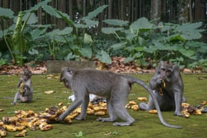 Bali, Indonesia. Monkeys eats bananas at Sangeh Monkey Forest, which has about 600 long-tailed macaque (Macaca fascicularis)