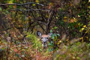 A deer peers through some brush at Kenilworth Aquatic Gardens in Washington
