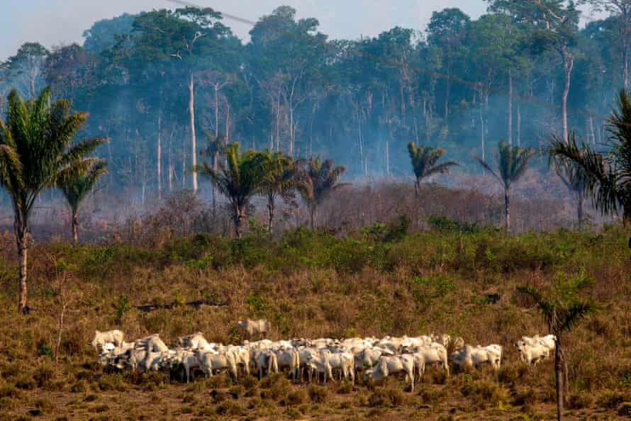 Cattle graze with a burnt area in the background after a fire in the Amazon rainforest near Novo Progresso, Para state, Brazil, on 25 August 2019.