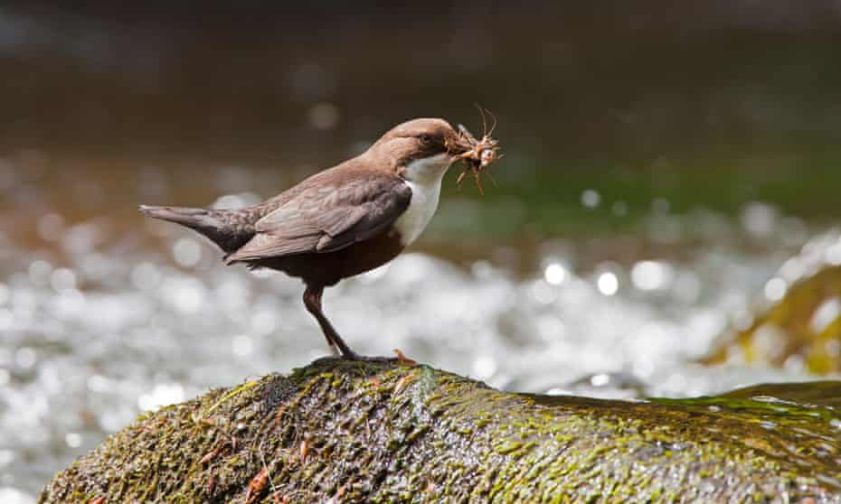 Dippers are regularly seen on this stretch of the Wye.