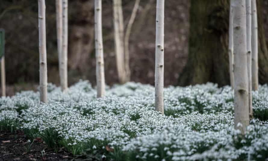 Snowdrops at Dunham Massey, Altrincham, Cheshire