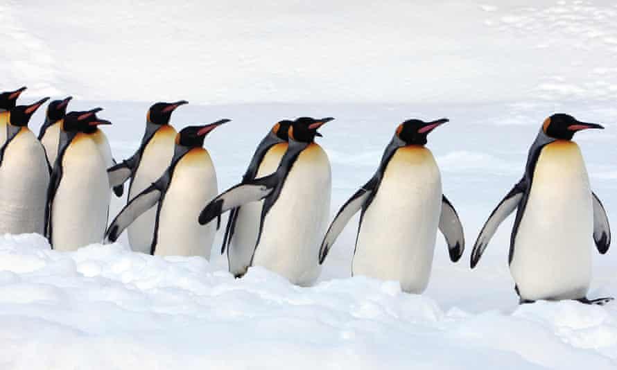 A group of King Penguins walk along a snow-covered path at Asahiyama Zoo in Japan
