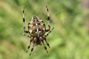 A European garden spider in its web in the sunshine.